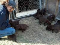 5 week old chocolate Lab puppies, AKC registered. shots