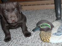 AKC Registered Chocolate lab young puppies. They will