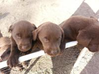 We have 6 week old AKC registered chocolate lab