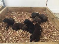 Gorgeous Chocolate Lab pups for Sale. I have 5 Males