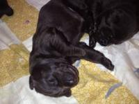 I have 2 litters of Beautiful chocolate lab puppies for