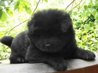 I have 1 female AKC signed up Black Chow Chow puppies