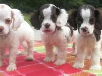 I have 3 Akc registered Cocker Spaniel puppies for sale