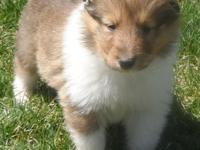 We has a litter of beautiful litter of collie