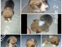 AKC registered corgi puppies. Raised indoors, have