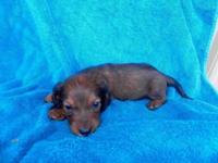 AKC miniature dachshund puppies for sale! I have some