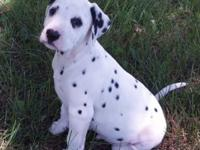 I have a litter of AKC signed up dalmatian dogs for