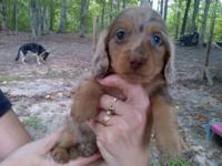 Three extremely handsome LONG hair dapple dachshund