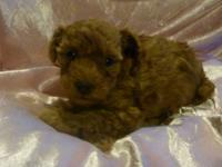 AKC Registered - Dark Red Toy Poodle Puppies - Rico X