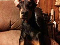 Hello, I have a 7 month old black and rust doberman