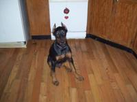 I have a Black & Rust & Blue & Rust Doberman Pinscher
