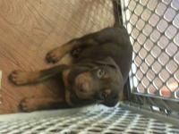 I have 6 beautiful red rust/tan Doberman puppies for