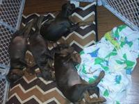 AKC Registered Doberman Pinscher Puppies- I only have 3