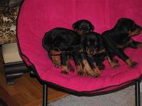AKC Doberman Pinscher puppies born on March 3, 2013. 4