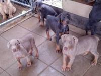 Akc Registered Doberman Pinscher puppies for sale. $500
