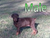 Akc signed up Doberman Pinscher young puppy. Birthed: