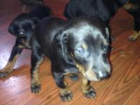 AKC Registered Doberman puppies for sale. All black and