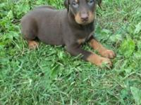 I have akc registered dobe puppies that are ready for