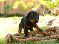 We have nine AKC registered Doberman pinscher puppies.