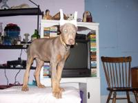 Hello, my name is Frankie I am a male, fawn Doberman. I