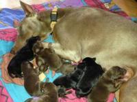 Born on Feb 21, 2013 I have 8 doberman puppies. 2