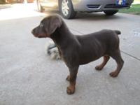 4 gorgeous and large black and rust Doberman puppies