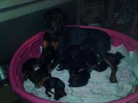 Hi, I have an ALL BLACK litter of Doberman puppies both
