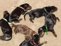 Beans puppies are here!!! We had a larger litter than