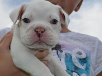 AKC Registered English Bulldog Puppy Vet Checked All
