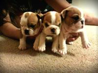 I have two adorable english bulldog puppies! they are 7