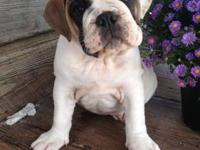 Hand raised AKC Registered English Bulldog puppies born