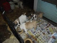 We have 3 Adorable English Bulldog Puppies, Very
