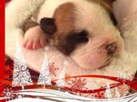 Akc registered English Bulldog young puppies, Champion