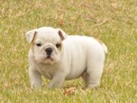 Animal Type: Dogs Breed: Bulldog Super adorable English