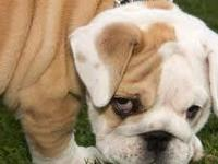 Akc registered English Bulldog puppies Super adorable