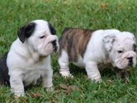 Animal Type: Dogs Breed: Bulldog I have 5 adorable