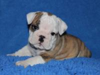 We have an exceptional litter of 6 English Bulldog