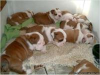 Cute and Adorable English Bulldog Puppies For Sale. I