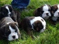 5 female English Bulldog puppies will come up to date