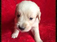AKC Registered Golden Retriever. Mom is an AKC