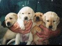 AKC REGISTERED ENGLISH LABRADOR RETRIEVER PUPPIES.