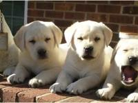 Great trash of English lab dogs born 7-20-14. Yellows