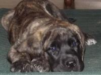 I have a beautiful AKC Registered Brindle English