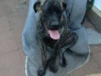 AKC Registered English Mastiff male puppy - Brindle