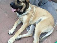 AKC Registered English Mastiff male puppy - Fawn male 7