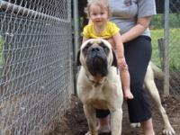 I have four AKC registered English Mastiff puppies they