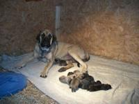 On New Years 2013 born lucky English Mastiff puppies,