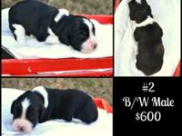 AKC Registered English Springer Spaniel Puppies For