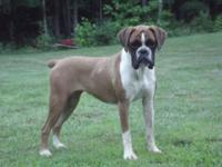 AKC Registered Boxer Her name is Heidi. I purchased her