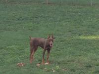 AKC registered female Doberman puppy. She is six months